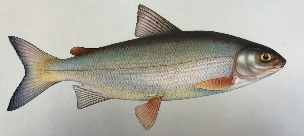Рыба пыжьян фото и описание